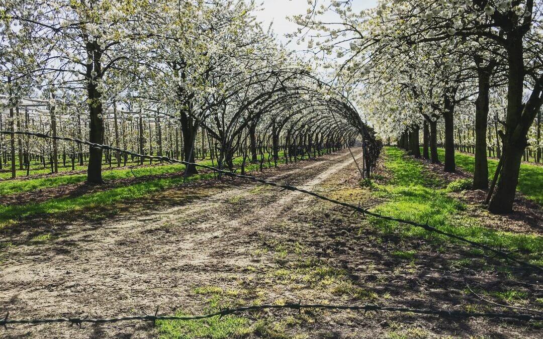 Kersenboomgaard Amelisweerd