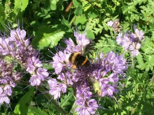 Bijenvoer - Phacelia tanacetifolia)
